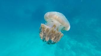 Medusa (Chrysaora fuscescens ou urtiga do Pacífico) em água do oceano azul