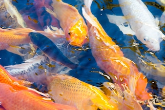 Movimento de belo peixe koi nadando na lagoa