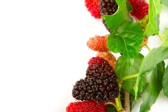 Mulberry com as folhas isoladas em um fundo branco