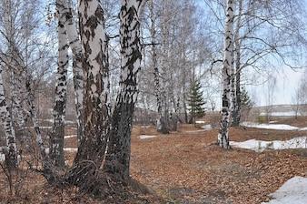 neve paisagem de floresta de bétulas natureza árvores