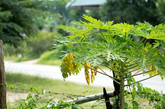 Nova plantação de papaia