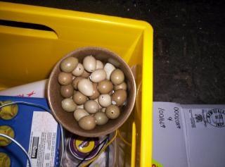 ovos de codorna, pipped