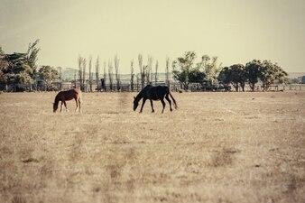 Paisagem australiana de verão com cavalos. Efeito vintage.