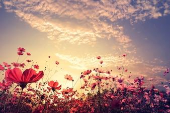 Paisagem fundo natural do lindo campo de flores do cosmos rosa e vermelho com luz do sol. tom de cor vintage