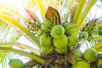 Palmeira com cocos