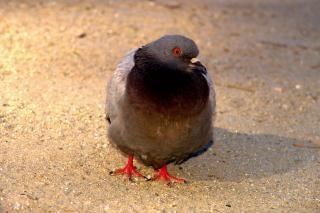 Pé de pombo, pássaros