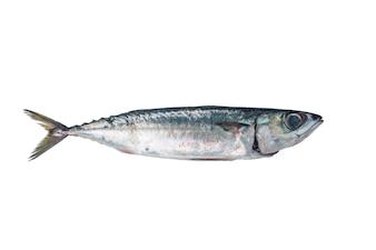 Peixe fresco Cavala