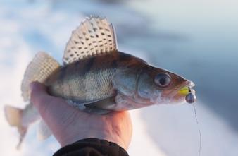 Peixe recentemente pescado em uma mão