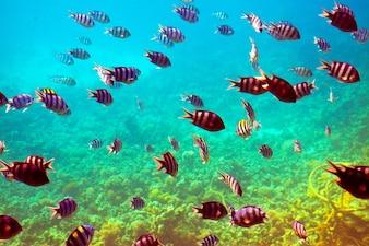 Peixes tropicais na área de recifes de corais