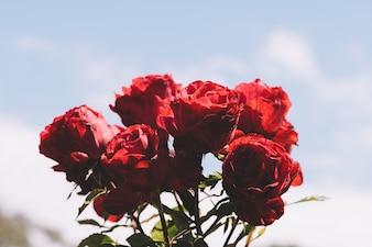 Pequeno grupo de rosas vermelhas.