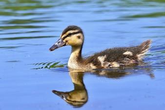 Pequenos patos em uma lagoa. Patos selvagens dos noivos. (Anas platyrhynchos)