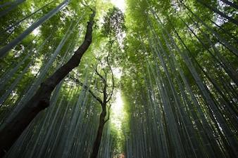 Perspectiva floresta de bambu