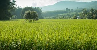 Pico de arroz no campo de arroz no outono da manhã. Conceito de imagem de iluminação pobre