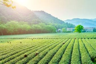 Plantação de colheita feminina de terras agrícolas orgânica