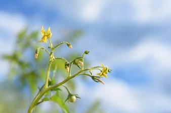 Plantas de tomates verdes frescos. Floração de tomate.