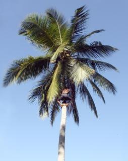 plucker coco
