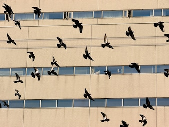 Pomba rebanho pombos pássaro voando voo