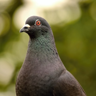 """Close-up pigeon looking to camera"""