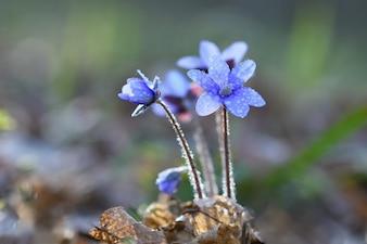 """""""Flores azuis gentis no orvalho"""""""