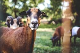 Retrato da cabra