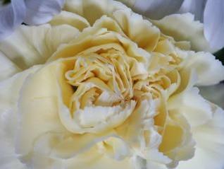 rosa branca, abstratos