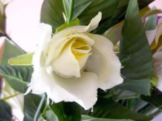 rosa branca, branca