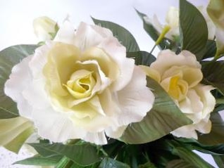 rosa branca, folhas verdes