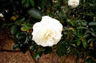 rosa branca, jardim