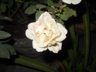 rosa branca branco