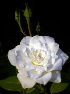 rosa branca com botões