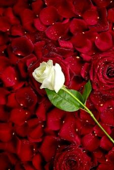Rosa branca em pétalas vermelhas