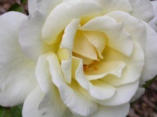 Rosa branca, flor