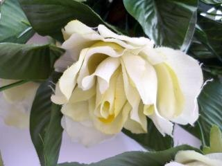 Rosa branca, folhas