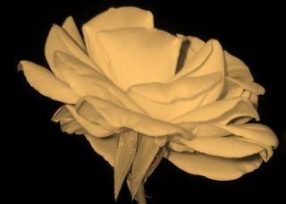 rosa branca planta flor