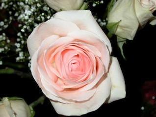 rosa e rosa branca