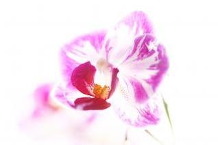 rosa flor flor rosa branca