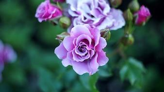 Rosas no maciço da cidade.