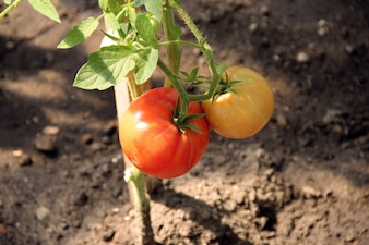 Saborosa comida saudável tomate delicioso saudável