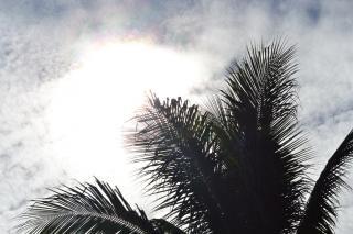 silhueta de folhas de coqueiro