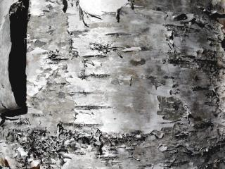 Textura bétula