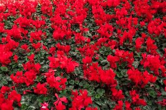 Textura de flores vermelhas