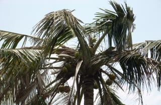 topo da palmeira