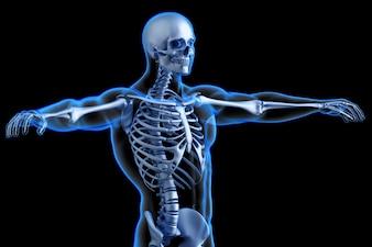 Torso de esqueleto humano. Ilustração anatômica 3D