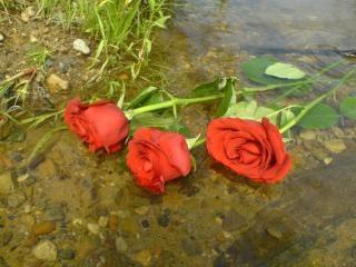 Três rosas vermelhas