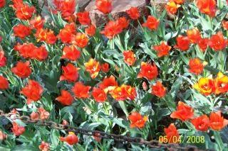 Tulipas vermelhas, ao ar livre