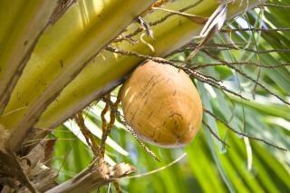 um coqueiro