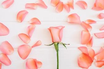 Única rosa no meio cercada por pétalas de salmão em um fundo branco