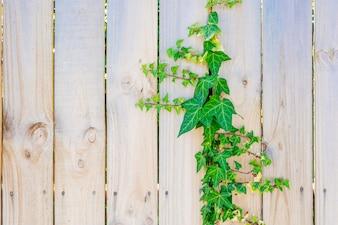 Verde hera de escalada na cerca de madeira. Fundo Textured dos painéis de madeira.