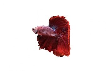 Vermelho, halfmoon, betta, splendens, ou, siamese, luta, peixe, isolado
