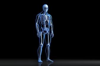 Vista de raios-X de posar esqueleto humano. Ilustração anatômica 3D